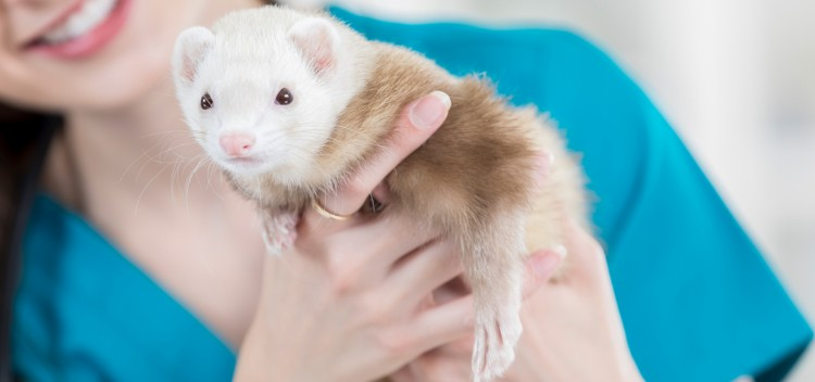 How to care for your ferret