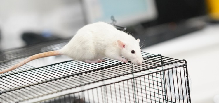 How to care for your pet rat