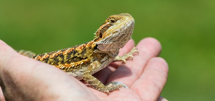 How to care for your pet lizard