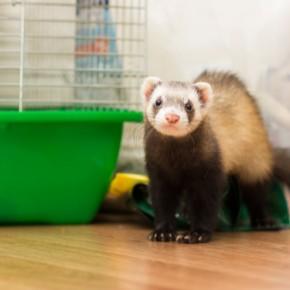 Read Darren's advice on keeping ferrets cool in summer