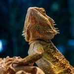 Adjusting the basking temperature for bearded dragons in hot weather